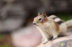 Glacier squirrel